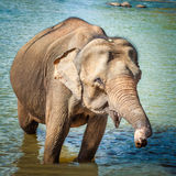 Elephant cub bathing Stock Image