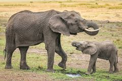 Elephant with a cub Stock Image