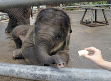 Elephant-cub feeding from hand. Baby elephant feeding from human hand in zoo stock photography
