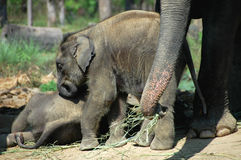 Elephant cubs. Elephant twin cubs at Chitwan National Park,Nepal Photo taken in May,2009 stock photo