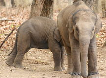 Elephant cubs at play. A pair of pet elephant cubs are at play in the jungles of Bandhavgarh, a sanctuary located in central India Royalty Free Stock Photos