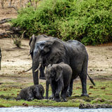 Elephant cubs Stock Photo