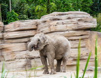 Elephant curls up trunk Royalty Free Stock Images