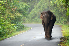 Elephant on the curve way landscape Royalty Free Stock Images
