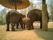 Cute baby elephant is with the family royalty free stock image