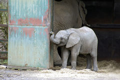 Elephant. A cute baby elephant in its enclosure in the Kent wildlife reserve park, tugging on a piece of rope amongst the other adult elephants stock image