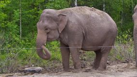 Elephant dances among nothern birches stock footage