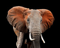 Elephant on dark background Royalty Free Stock Images