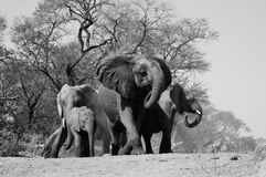 Elephant defensive huddle Royalty Free Stock Photos
