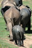 Elephant Departure. Muddy African Elephants leaving a water hole Royalty Free Stock Image