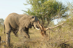 Elephant destroying tree. A view of a wild elephant destroying a tree Royalty Free Stock Photos