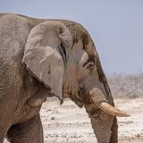 Elephant Detail. A closeup of an African Elephant`s face royalty free stock photos
