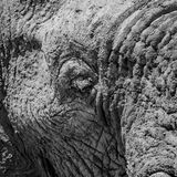 Elephant Detail. A closeup of an African Elephant`s face royalty free stock photo