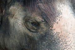 Elephant - detail Royalty Free Stock Photo