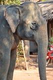 Elephant. Detail of indian elephant head in thai island ko lanta royalty free stock images