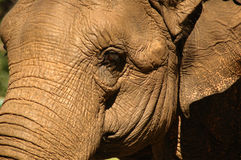 Elephant detalis. Brown elephant crop details with eye Royalty Free Stock Photography
