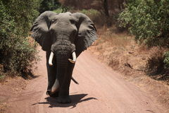 Elephant on dirt road Royalty Free Stock Image