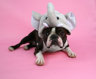 Elephant dog. A boston terrier with an elephant hat on Royalty Free Stock Photo