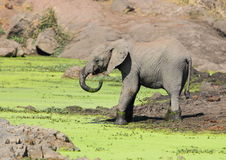 Elephant drinking Stock Image