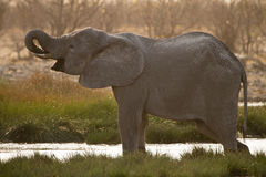 Elephant drinking Royalty Free Stock Photos