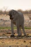 Elephant drinking Royalty Free Stock Photos