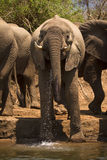 Elephant drinking Royalty Free Stock Photography