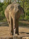 Elephant drinking. Asian elephant drinking water Royalty Free Stock Photography