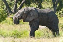 Elephant Drinking Stock Photography