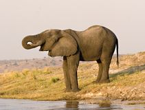 Elephant drinking Royalty Free Stock Image