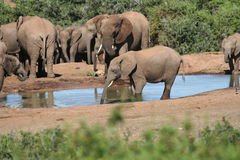 Elephant drinking. At the wateringhole stock image