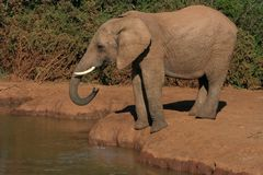 Elephant drinking. Male african elephant drinking at a waterhole Royalty Free Stock Photos