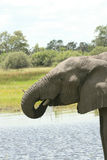 Elephant drinking. African elephant drinking in Moremi Game Reserve Royalty Free Stock Images