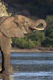 Elephant Drinking - Botswana Royalty Free Stock Images
