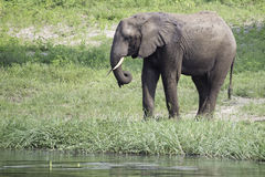 Elephant Drinking. An elephant drinking from the Chobe River in Botswana Stock Images