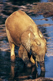 Elephant. The elephant is drinking in congo Stock Photography