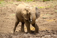 African animals. Elephant drinking at  Mapungubwe National Park Stock Images
