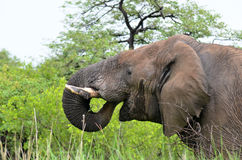 Elephant drinking from marsh Stock Images