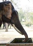 Elephant drinking Stock Photos