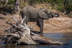 Elephant drinking from river behind dead tree Stock Photo