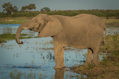 Elephant drinking from river in golden hour Stock Photo