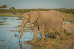 Elephant drinking from river in golden light Royalty Free Stock Photos