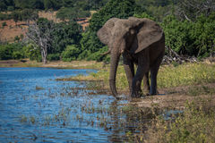 Elephant drinking from river on wooded bank Stock Image
