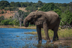 Elephant drinking from river on wooded shore Stock Images