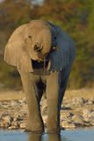 Elephant drinking in setting sun. Elephant playing at waterhole after long and thirsty trek in Etosha National Park, Namibia Stock Image