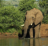 Elephant drinking. Solitary elephant drinking at a water hole royalty free stock image