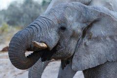 Elephant drinking Stock Images