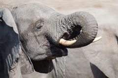 Elephant drinking and splashing water on dry and hot day Royalty Free Stock Image