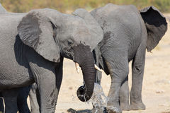 Elephant drinking and splashing water on dry and hot day Royalty Free Stock Photos