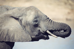 Elephant drinking and splashing water on dry and hot day Stock Images