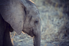 Elephant drinking and splashing water on dry and hot day Stock Image